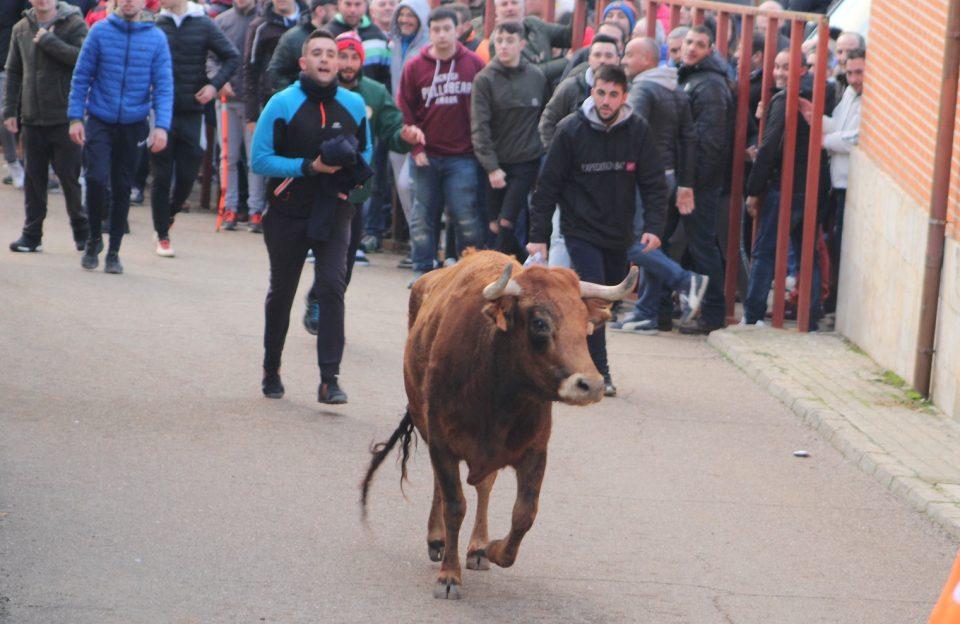 Villafrechós vibra con su Toro del Cotillón