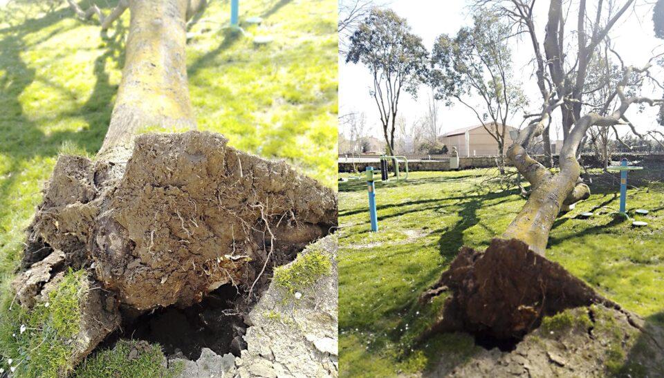 El viento derriba un árbol en el parque Duque de Osuna de Rioseco