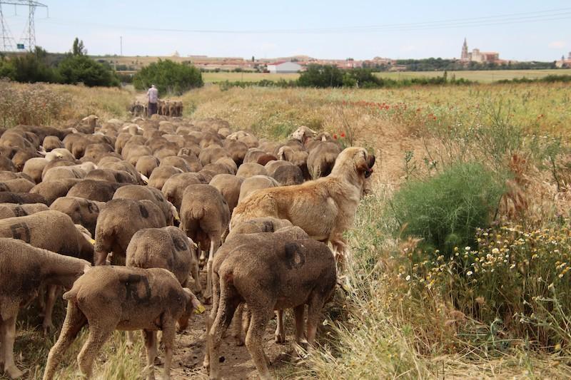 1.400 ovejas trashumantes pasan por Valverde de Campos y Medina de Rioseco