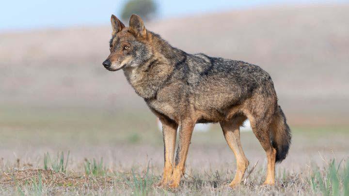 Castilla y León suspende todos los permisos para cazar lobos ante la inseguridad jurídica de la norma